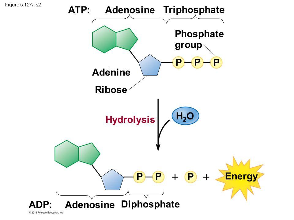 Figure 5.12A_s2 ADP: Adenosine Diphosphate P P P Energy H2OH2O Hydrolysis Ribose Adenine P P P Phosphate group ATP:Adenosine Triphosphate