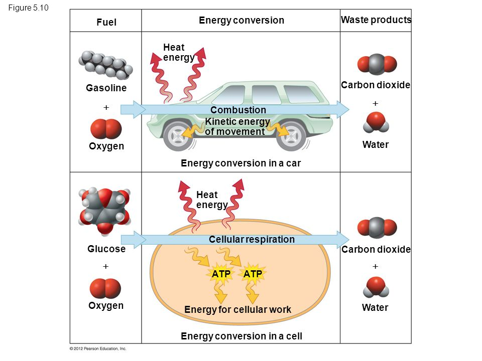 Figure 5.10 Fuel Energy conversion Waste products Gasoline Oxygen Glucose Heat energy Combustion Kinetic energy of movement Energy conversion in a car