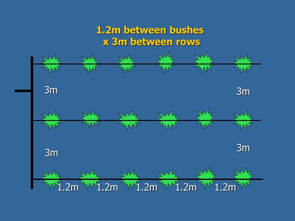 1.2m between bushes x 3m between rows x 3m between rows 3m 3m 1.2m1.2m1.2m1.2m1.2m 3m 3m