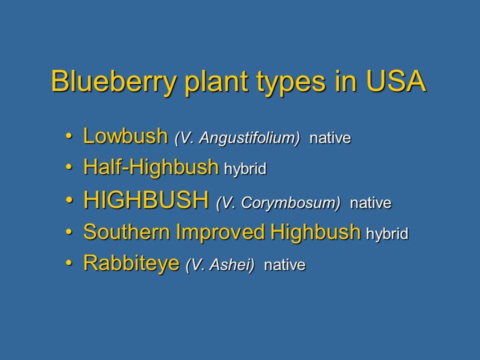 Blueberry plant types in USA Lowbush (V. Angustifolium) nativeLowbush (V.
