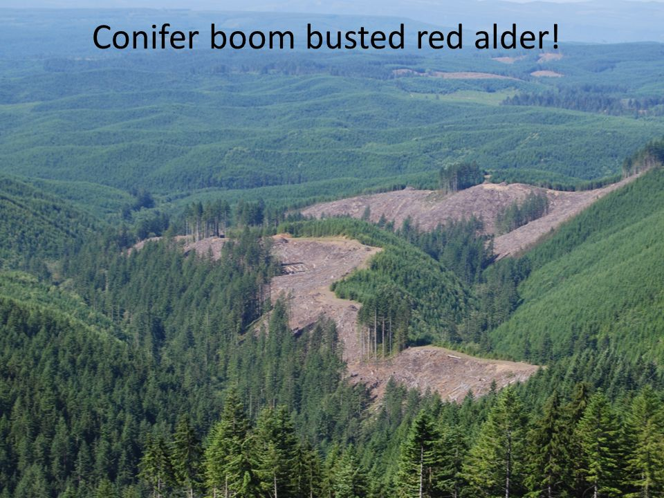 Conifer boom busted red alder!