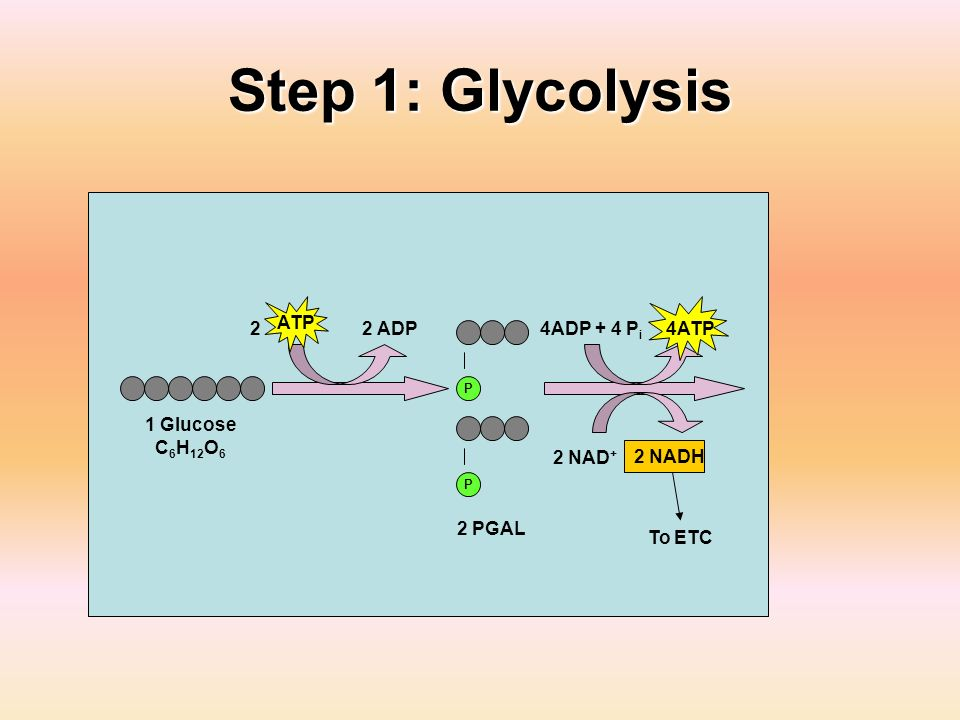 Step 1: Glycolysis 1 Glucose C 6 H 12 O 6 2 ADP P P 2 PGAL 4ADP + 4 P i 2 NAD + 2 NADH 4ATP ATP 2 To ETC