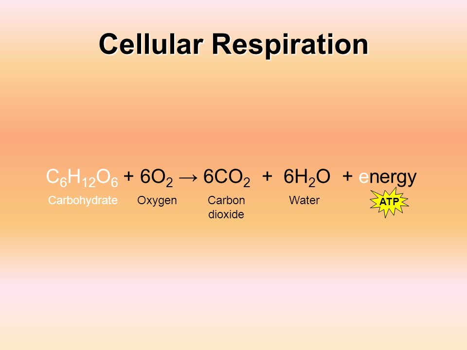 Cellular Respiration C 6 H 12 O 6 + 6O 2 6CO 2 + 6H 2 O + energy Carbon dioxide WaterCarbohydrateOxygen ATP