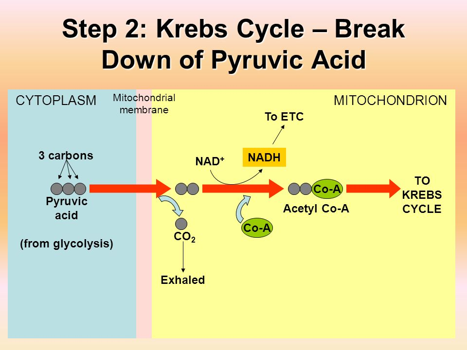 Step 2: Krebs Cycle – Break Down of Pyruvic Acid CYTOPLASM Mitochondrial membrane MITOCHONDRION Pyruvic acid (from glycolysis) CO 2 NAD + NADH Co-A Ac