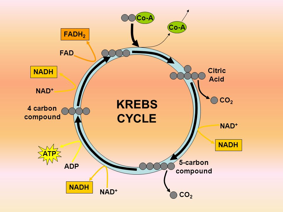 4 carbon compound Co-A Citric Acid CO 2 NAD + NADH 5-carbon compound CO 2 NAD + NADH ADP ATP NAD + NADH FAD FADH 2 KREBS CYCLE