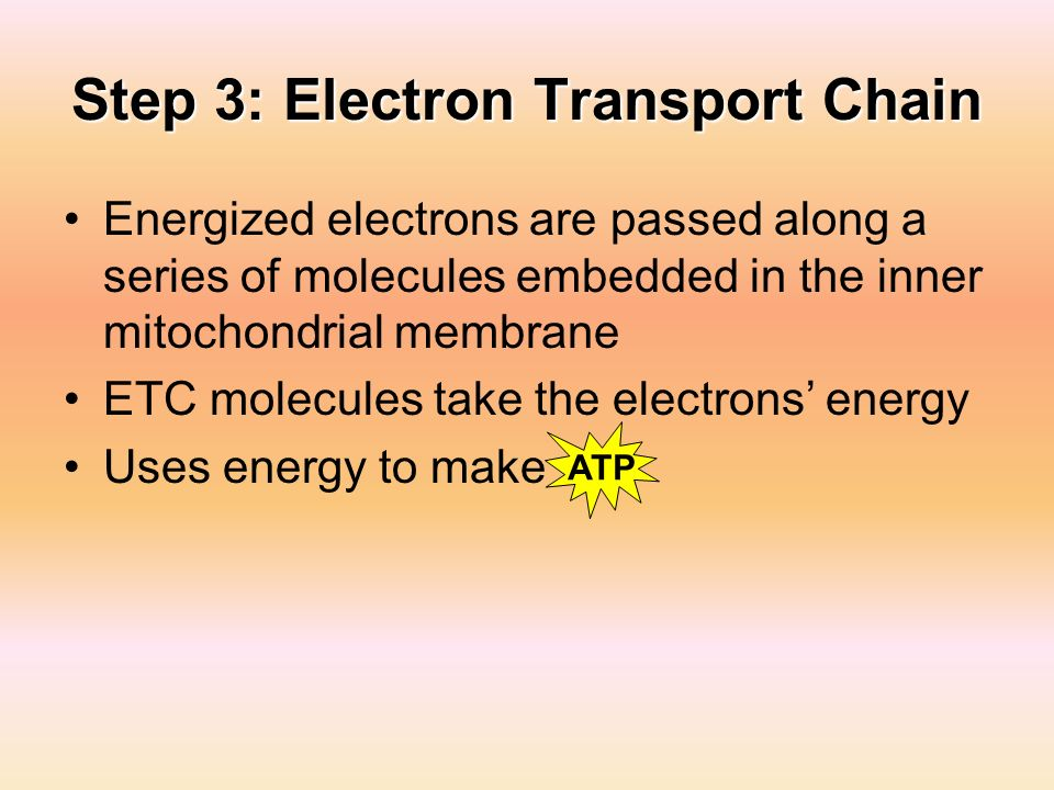 Step 3: Electron Transport Chain Energized electrons are passed along a series of molecules embedded in the inner mitochondrial membrane ETC molecules
