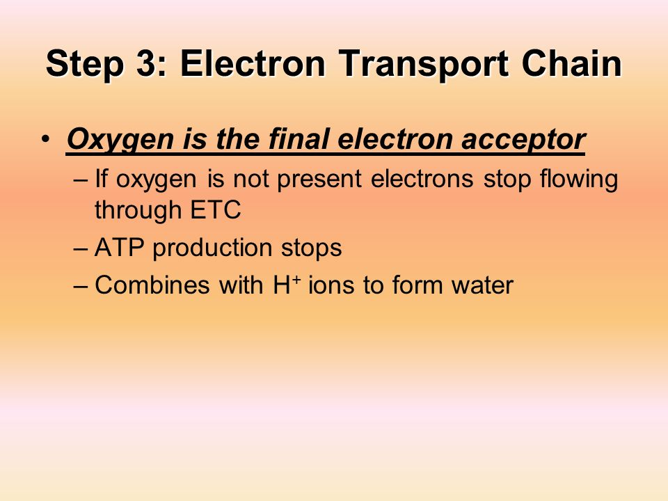 Step 3: Electron Transport Chain Oxygen is the final electron acceptor –If oxygen is not present electrons stop flowing through ETC –ATP production st