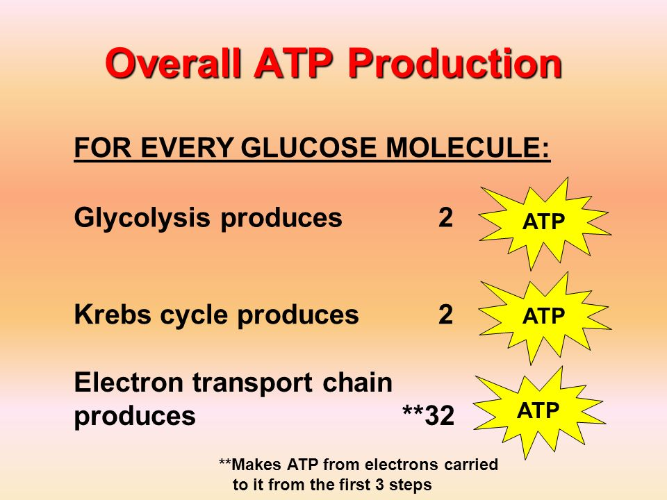Overall ATP Production Glycolysis produces 2 ATP Krebs cycle produces 2 Electron transport chain produces **32 ATP **Makes ATP from electrons carried