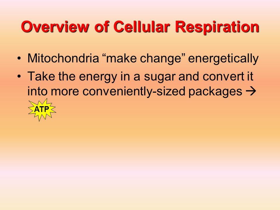 Overview of Cellular Respiration Mitochondria make change energetically Take the energy in a sugar and convert it into more conveniently-sized package