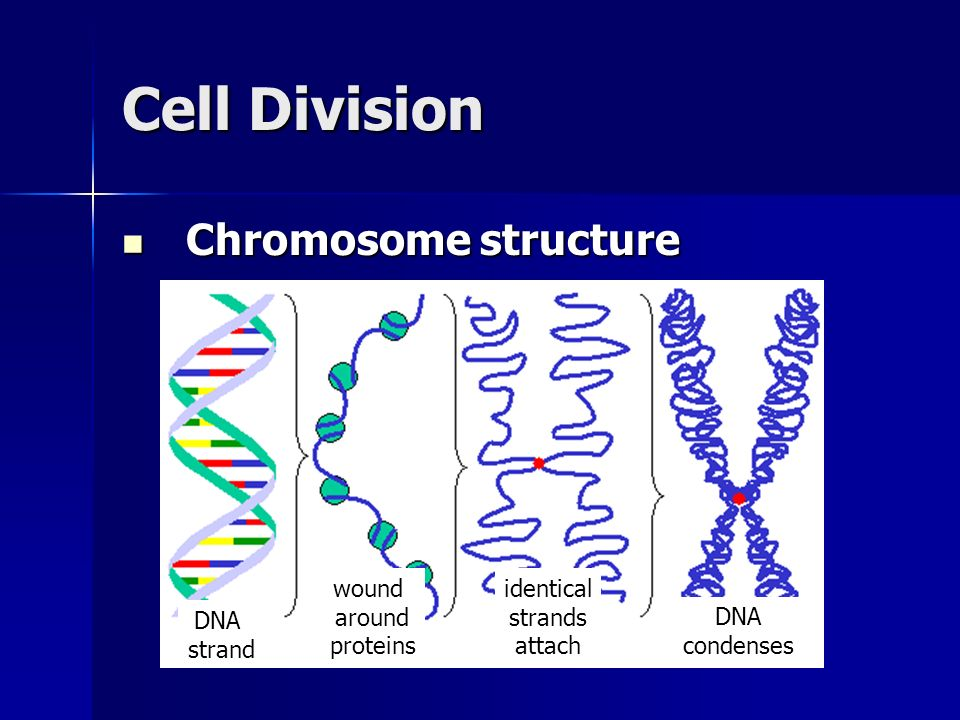 Cell Division Chromosome structure Chromosome structure DNA strand wound around proteins identical strands attach DNA condenses