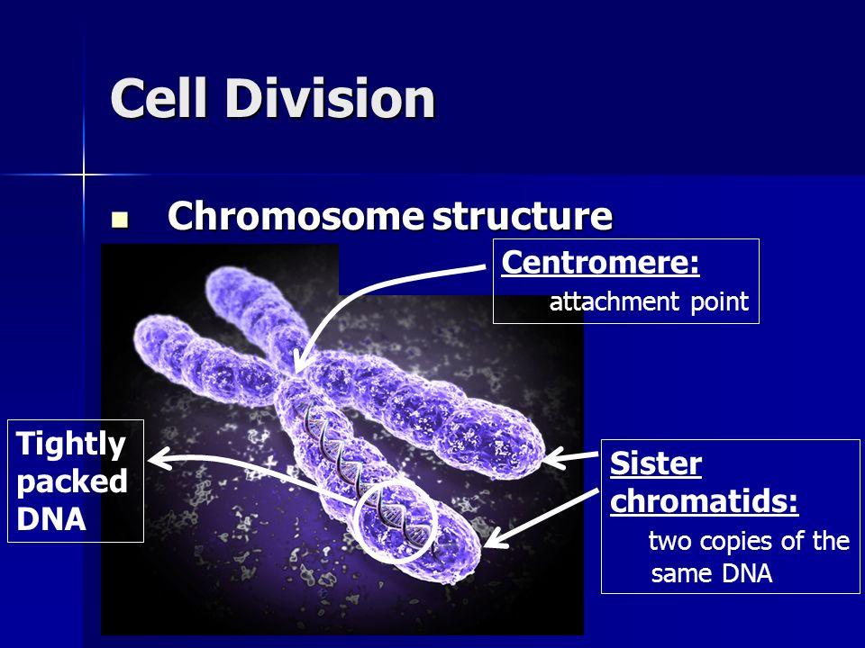 Cell Division Chromosome structure Chromosome structure Centromere: attachment point Tightly packed DNA Sister chromatids: two copies of the same DNA