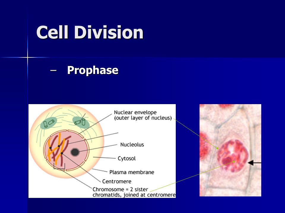 Cell Division –Prophase