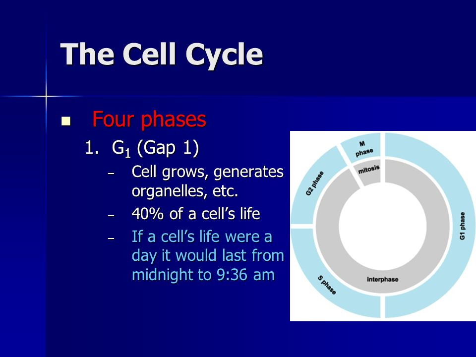 The Cell Cycle Four phases Four phases 1.G 1 (Gap 1) – Cell grows, generates organelles, etc. – 40% of a cells life – If a cells life were a day it wo