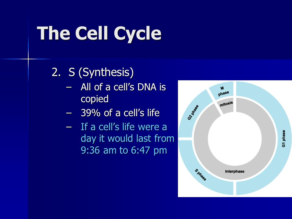 The Cell Cycle 3.G 2 (Gap 2) –Final preparation for cell division –19% of a cells life –If a cells life were a day it would last from 6:47 pm to 11:21 pm