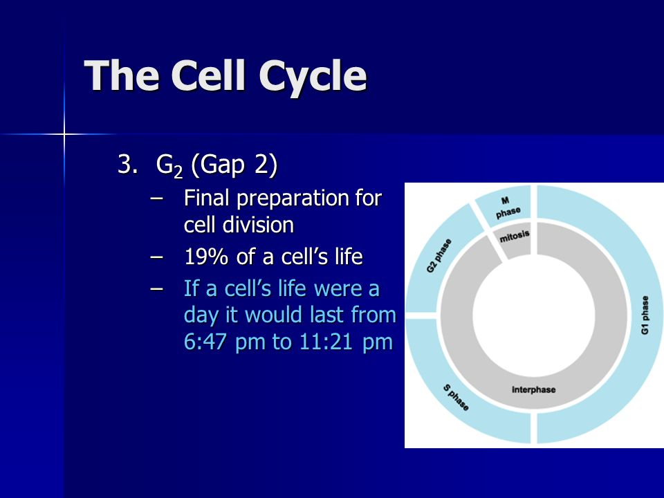 The Cell Cycle 3.G 2 (Gap 2) –Final preparation for cell division –19% of a cells life –If a cells life were a day it would last from 6:47 pm to 11:21