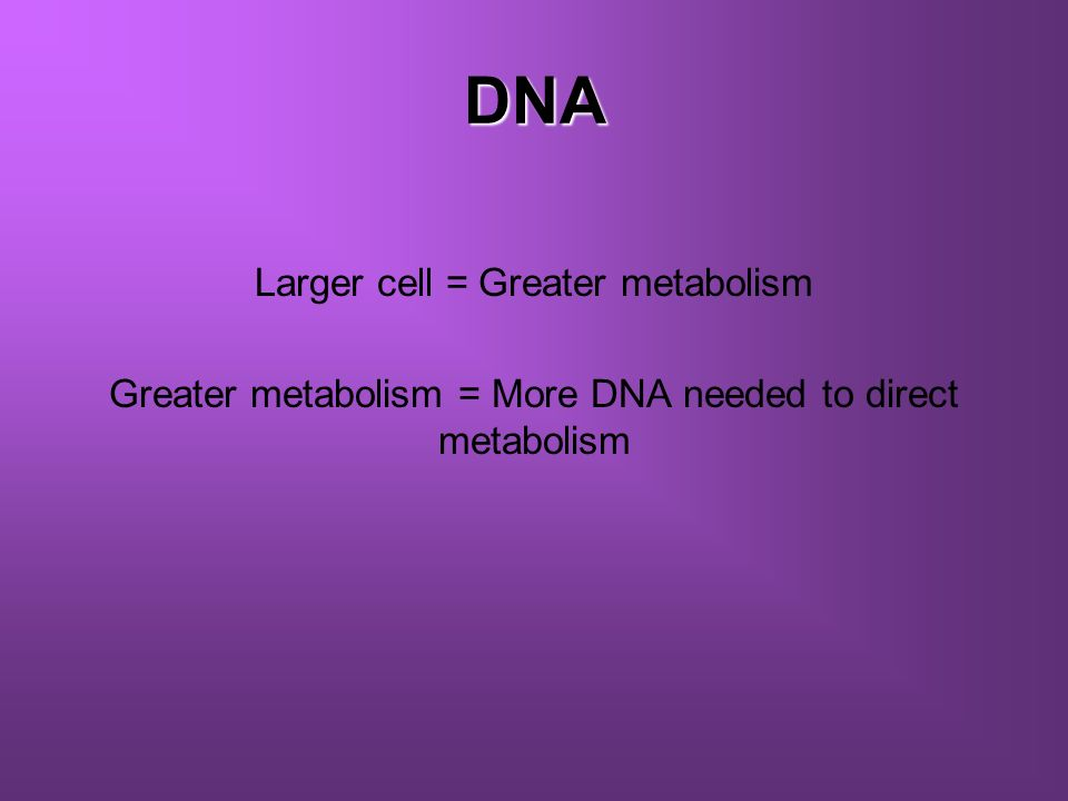 DNA Greater metabolism = More DNA needed to direct metabolism
