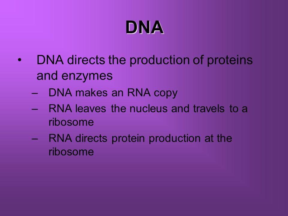 DNA DNA directs the production of proteins and enzymes –DNA makes an RNA copy –RNA leaves the nucleus and travels to a ribosome –RNA directs protein p