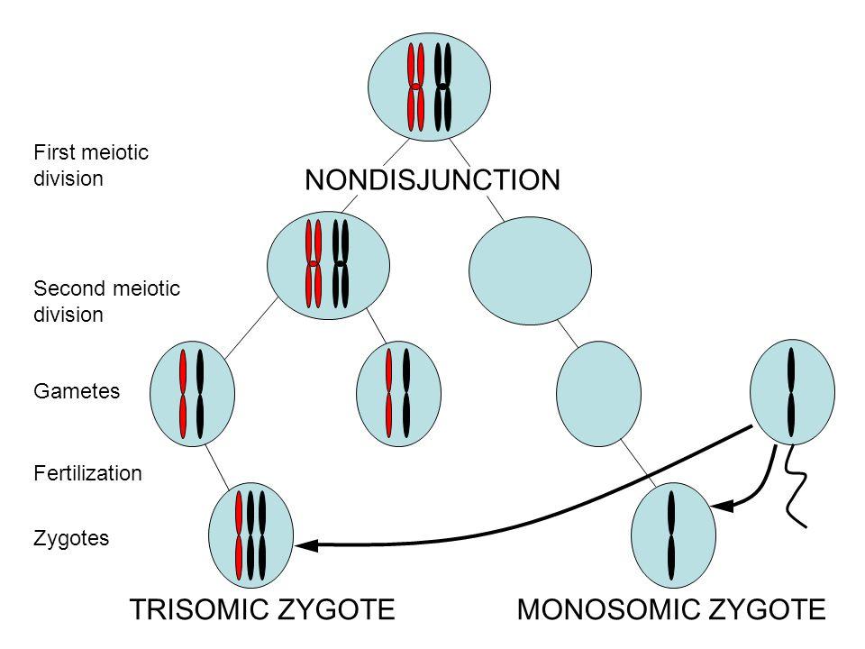 NONDISJUNCTION TRISOMIC ZYGOTEMONOSOMIC ZYGOTE First meiotic division Second meiotic division Gametes Fertilization Zygotes