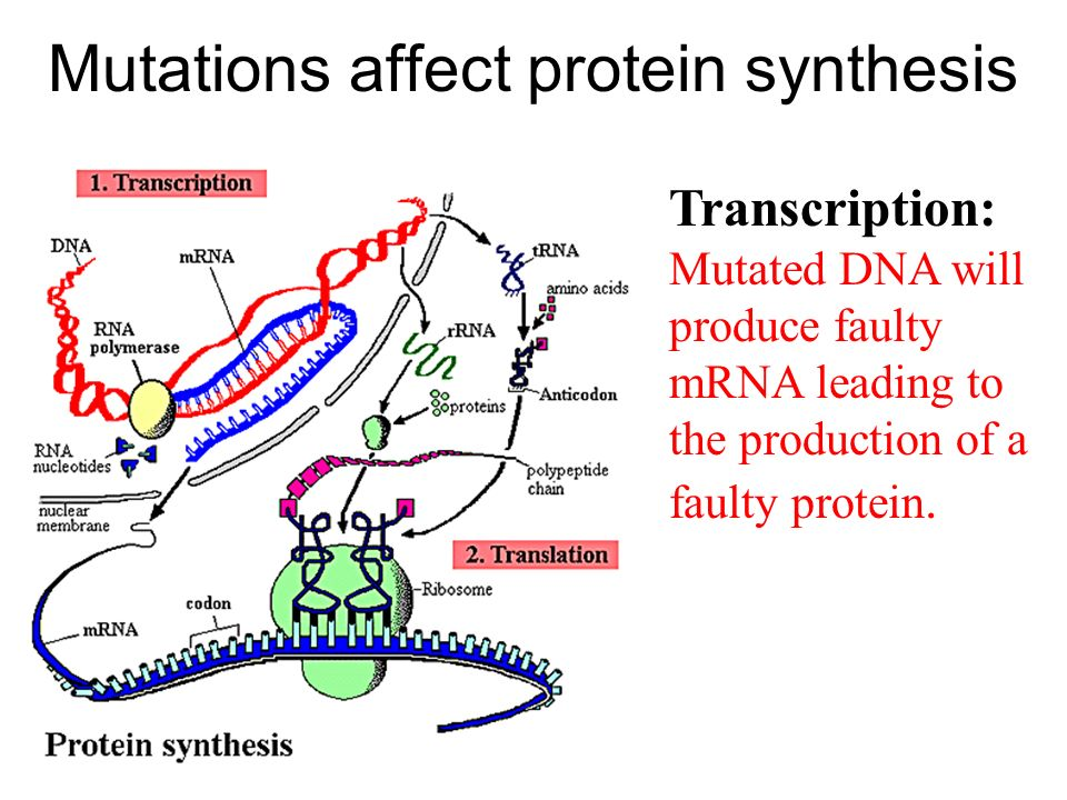Mutations affect protein synthesis Transcription: Mutated DNA will produce faulty mRNA leading to the production of a faulty protein.