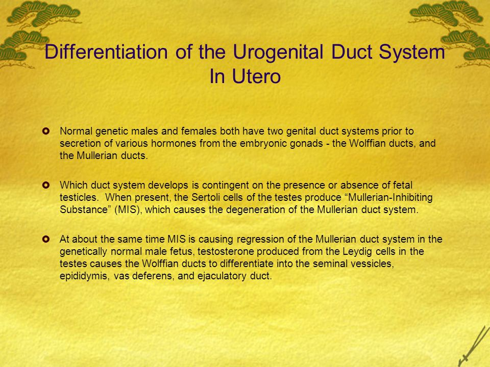 Differentiation of the Urogenital Duct System In Utero Normal genetic males and females both have two genital duct systems prior to secretion of vario