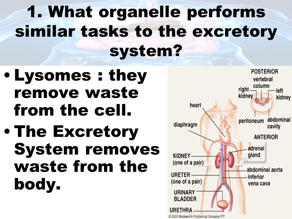1. What organelle performs similar tasks to the excretory system? Lysomes : they remove waste from the cell. The Excretory System removes waste from t