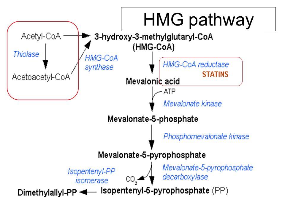 HMG pathway