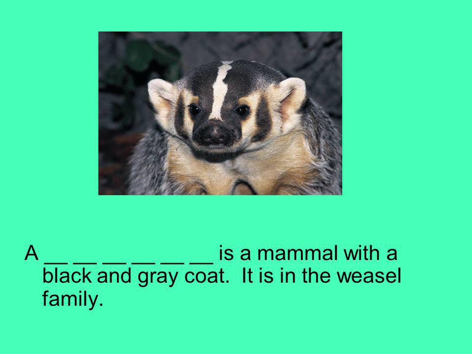 A __ __ __ __ __ __ is a mammal with a black and gray coat. It is in the weasel family.