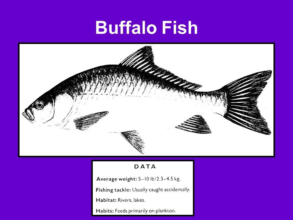 Buffalo Fish