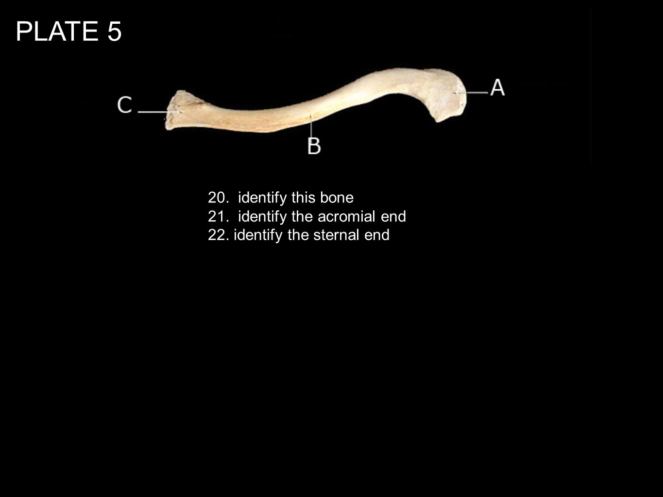 PLATE 5 20. identify this bone 21. identify the acromial end 22. identify the sternal end
