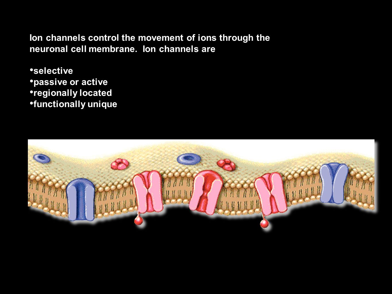 Ion channels control the movement of ions through the neuronal cell membrane. Ion channels are selective passive or active regionally located function