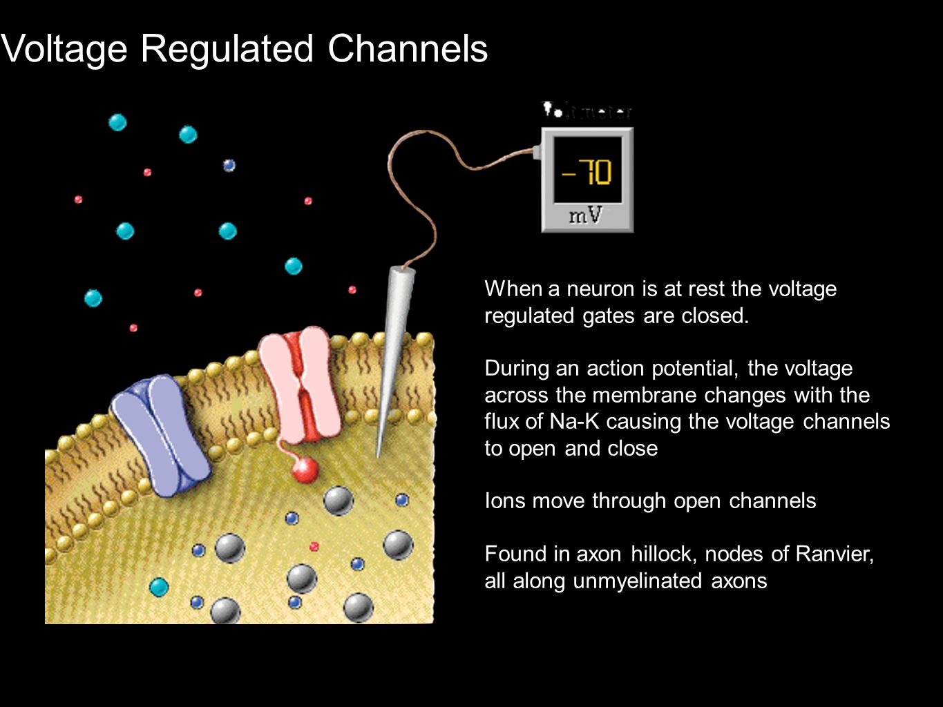 Voltage Regulated Channels When a neuron is at rest the voltage regulated gates are closed. During an action potential, the voltage across the membran