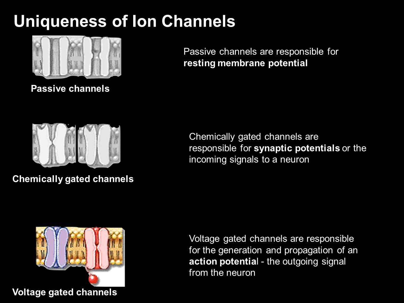 Uniqueness of Ion Channels Passive channels Chemically gated channels Voltage gated channels Passive channels are responsible for resting membrane pot