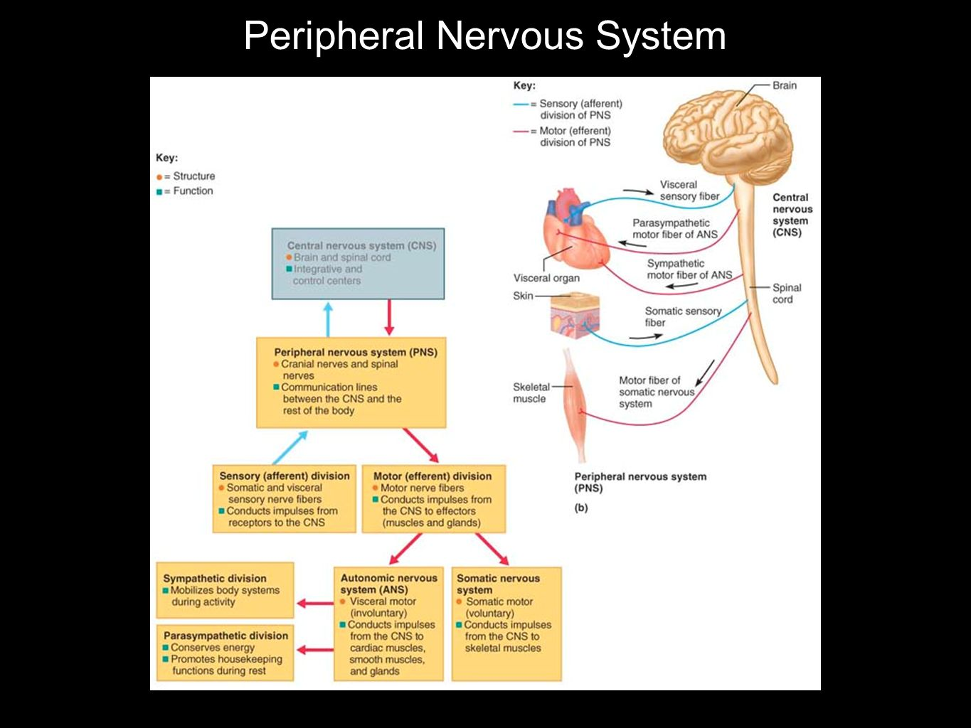 Autonomic Nervous System Responsible for involuntary visceral motor activity conducts impulses from the CNS to cardiac muscle smooth muscles glands Two Divisions SYMPATHETIC Engages body systems during activity PARASYMPATHETIC Conserves energy antagonist of sympathetic system