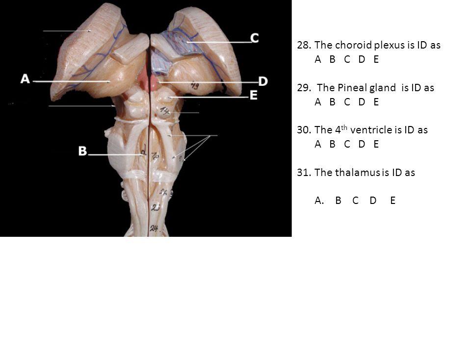 28. The choroid plexus is ID as A B C D E 29. The Pineal gland is ID as A B C D E 30. The 4 th ventricle is ID as A B C D E 31. The thalamus is ID as