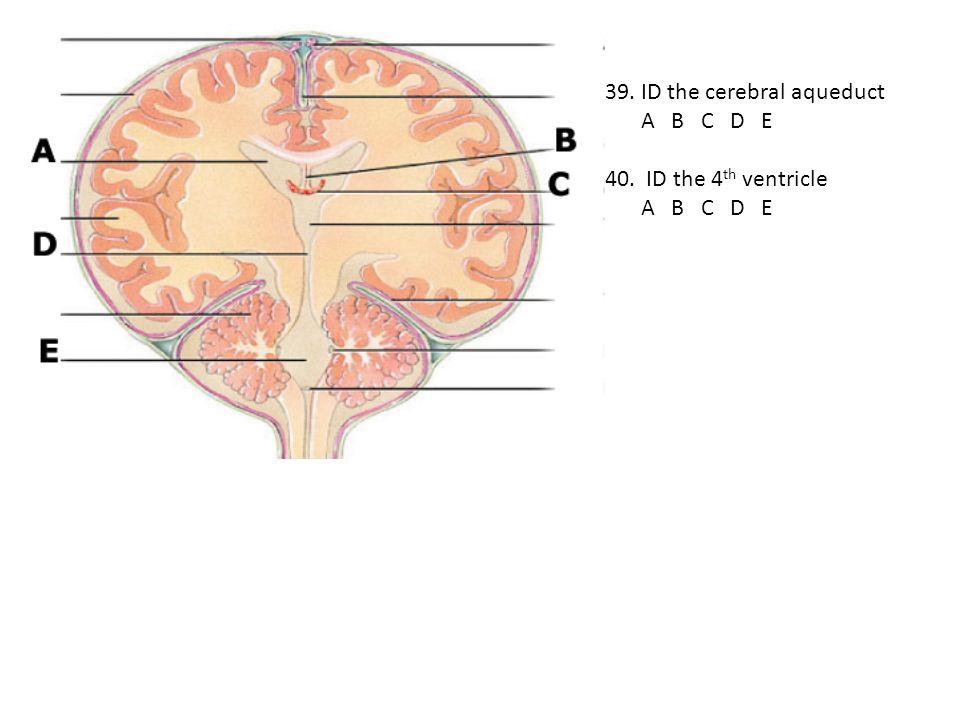39. ID the cerebral aqueduct A B C D E 40. ID the 4 th ventricle A B C D E