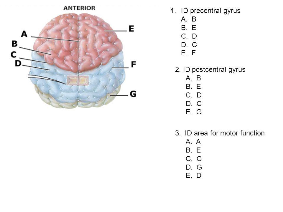 1.ID precentral gyrus A. B B. E C. D D. C E. F 2. ID postcentral gyrus A. B B. E C. D D. C E. G 3. ID area for motor function A. A B. E C. C D. G E. D