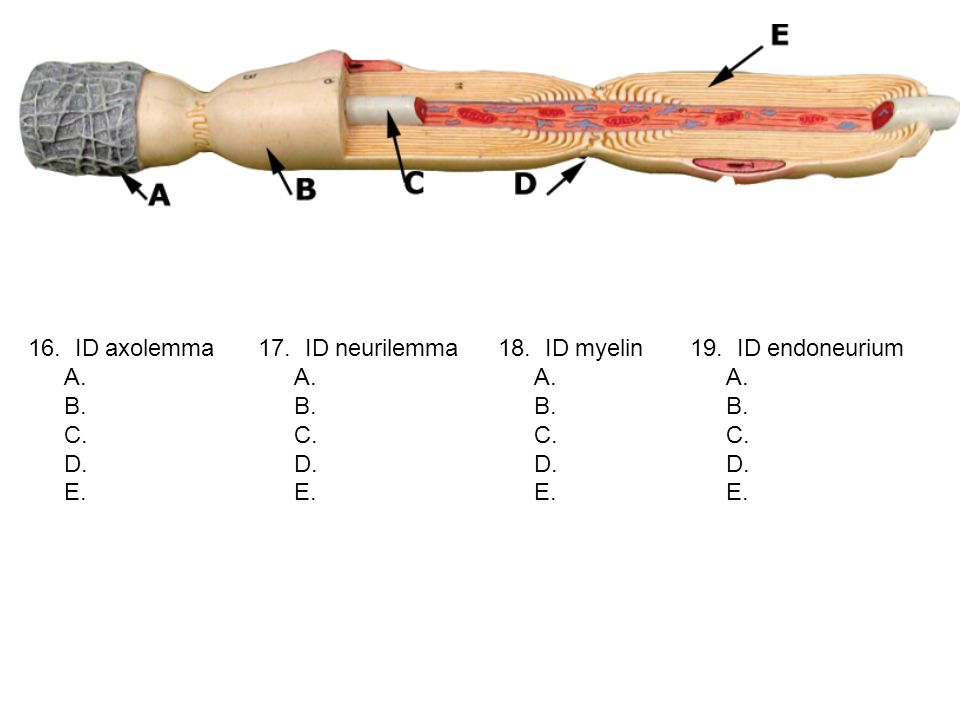 16. ID axolemma A. B. C. D. E. 17. ID neurilemma A. B. C. D. E. 18. ID myelin A. B. C. D. E. 19. ID endoneurium A. B. C. D. E.