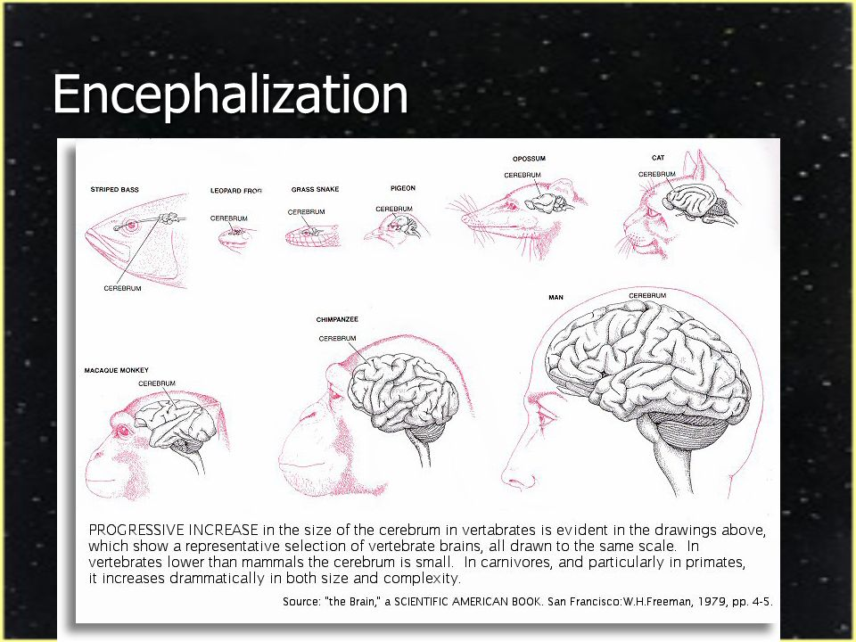 Encephalization Quotient (EQ) Anatomical estimate of species intelligence (non- behavioral) Anatomical estimate of species intelligence (non- behavioral) EQ = ratio of brain weight of animal to brain weight of typical animal of same body weight (Jerison, 1973) EQ = ratio of brain weight of animal to brain weight of typical animal of same body weight (Jerison, 1973) EQ represents index of residual value of brain mass EQ represents index of residual value of brain mass Total Brain Mass = Brain for body size Total Brain Mass = Brain for body size + Residual brain for higher functions + Residual brain for higher functions