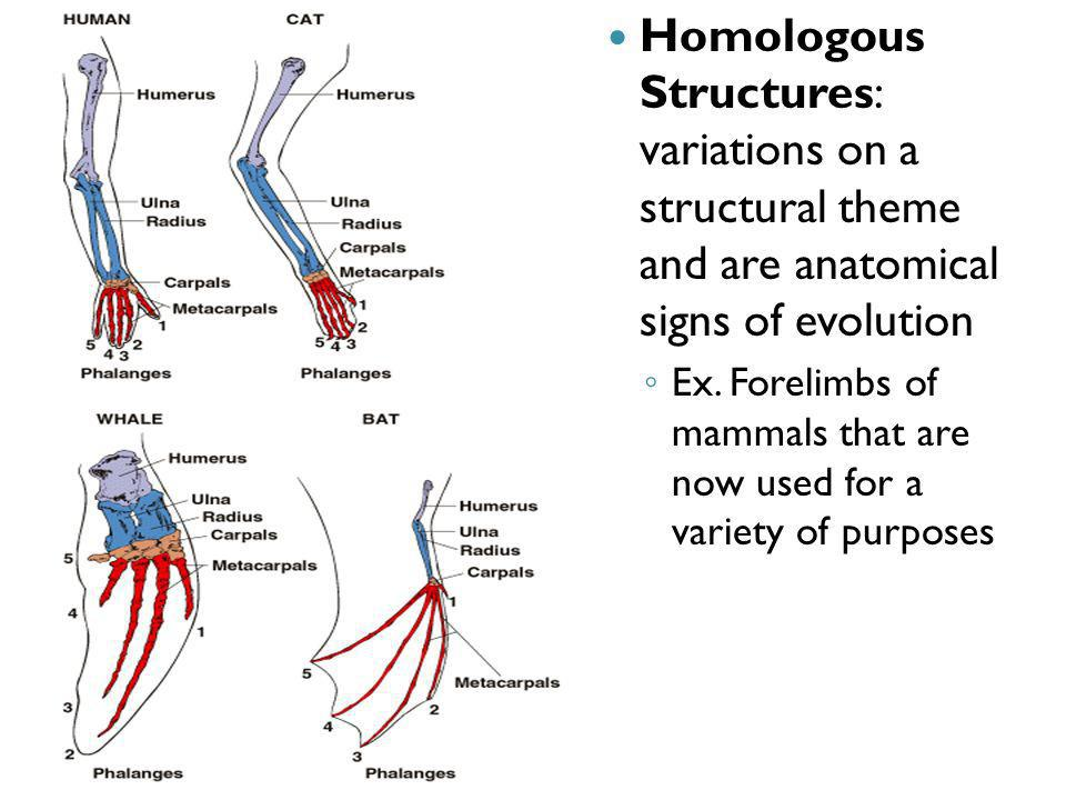 Homologous Structures: variations on a structural theme and are anatomical signs of evolution Ex. Forelimbs of mammals that are now used for a variety