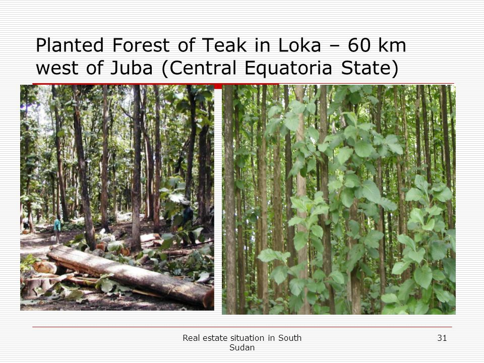 Real estate situation in South Sudan 31 Planted Forest of Teak in Loka – 60 km west of Juba (Central Equatoria State)