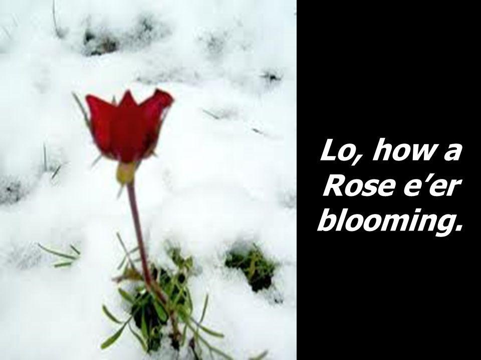Lo, how a Rose eer blooming.
