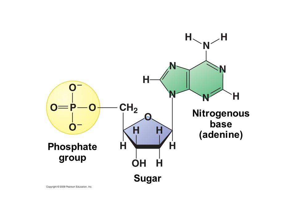 Phosphate group Nitrogenous base (adenine) Sugar
