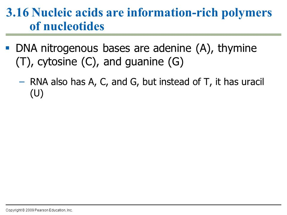 3.16 Nucleic acids are information-rich polymers of nucleotides DNA nitrogenous bases are adenine (A), thymine (T), cytosine (C), and guanine (G) –RNA