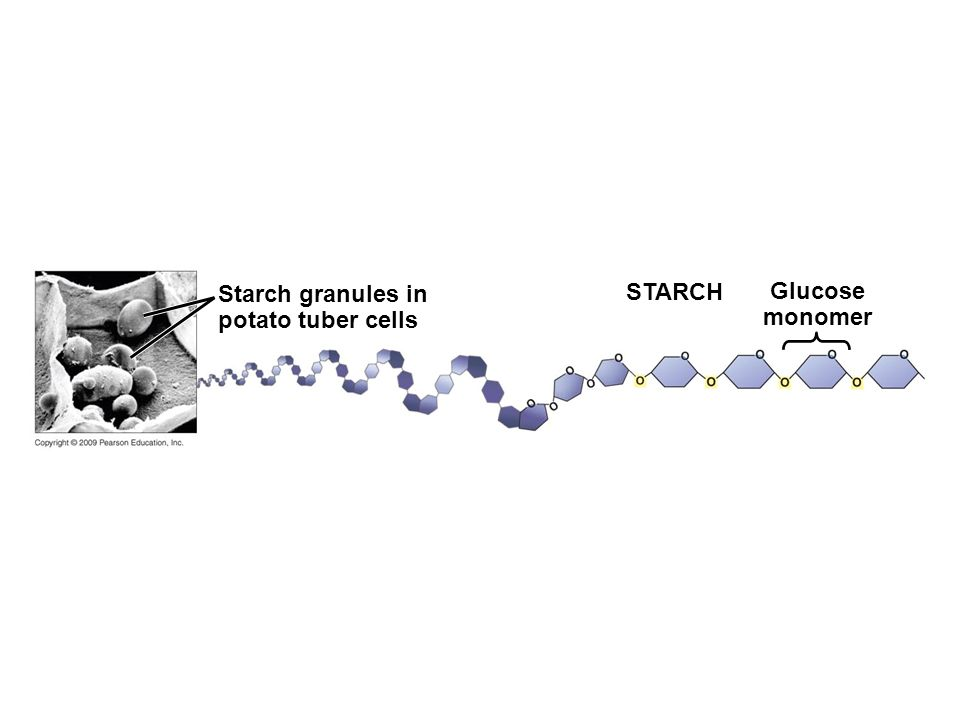 Starch granules in potato tuber cells Glucose monomer STARCH