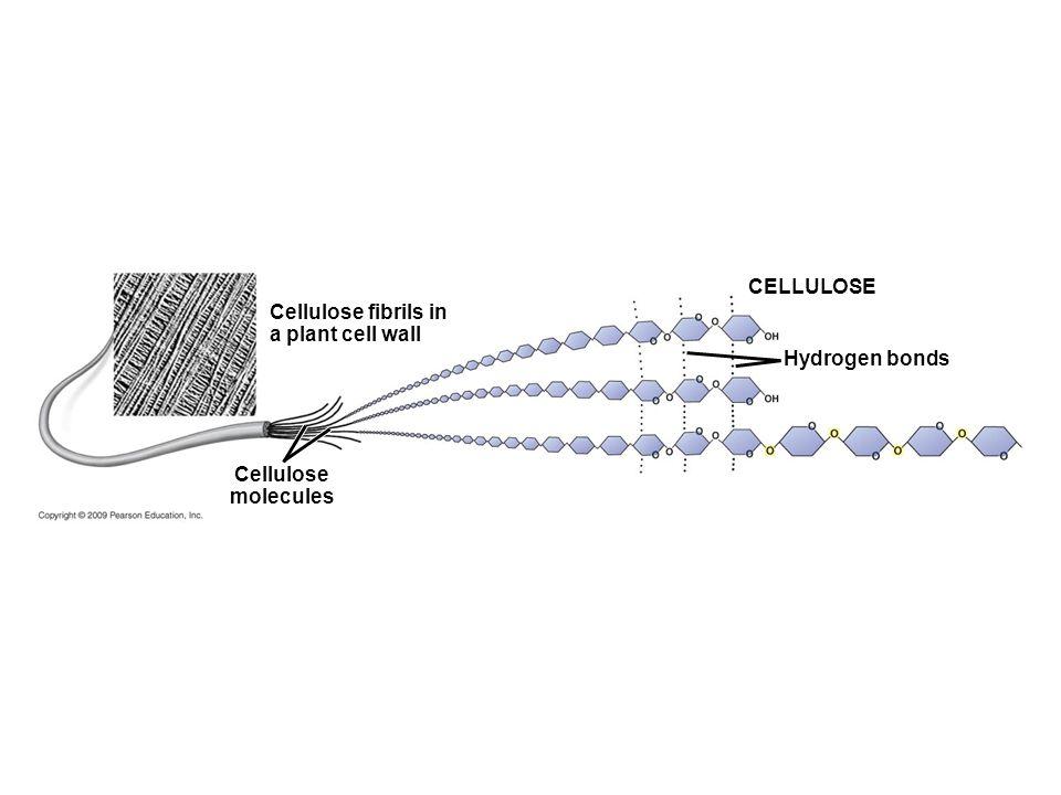 Cellulose fibrils in a plant cell wall Cellulose molecules CELLULOSE Hydrogen bonds