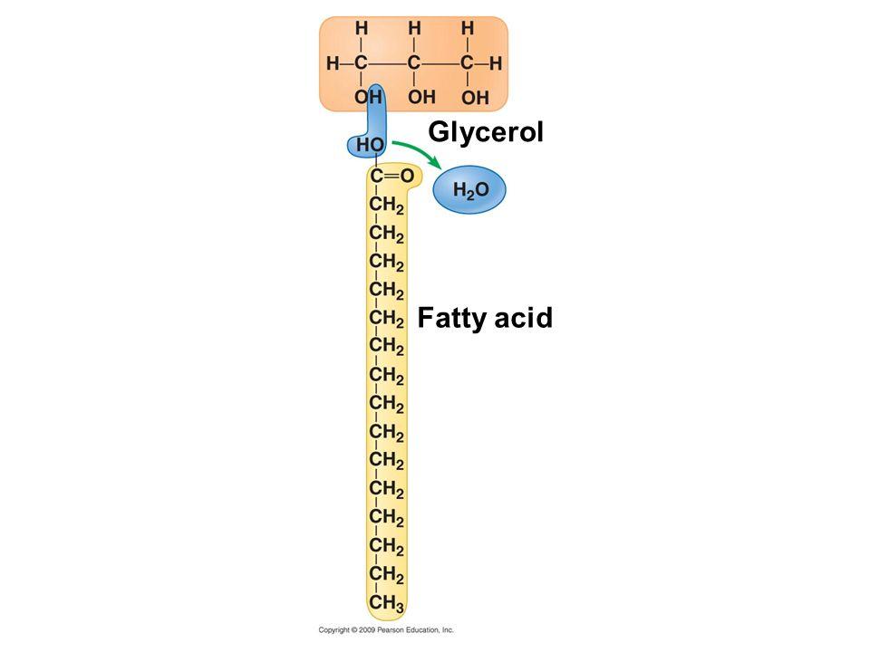 Fatty acid Glycerol