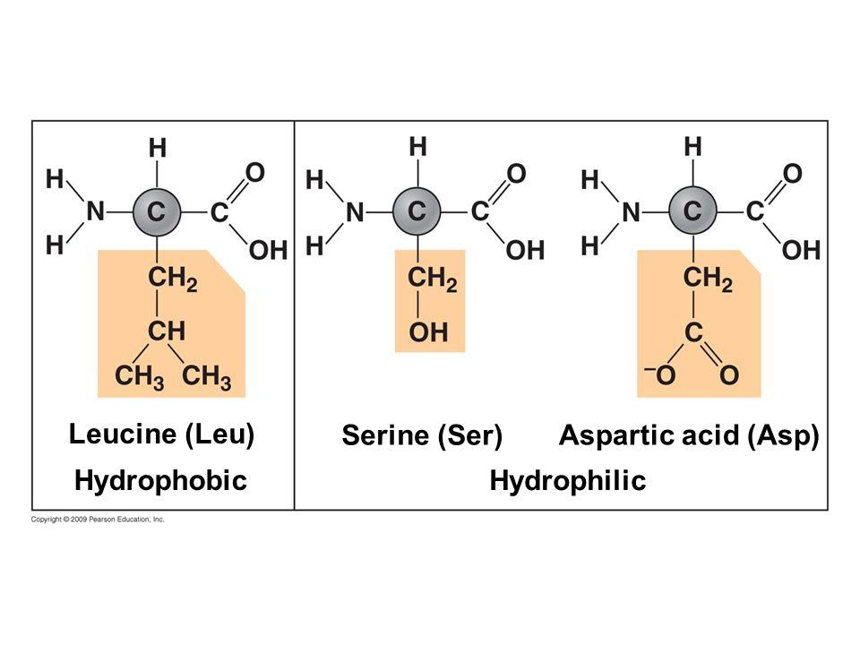 Leucine (Leu) Hydrophobic Serine (Ser) Hydrophilic Aspartic acid (Asp)