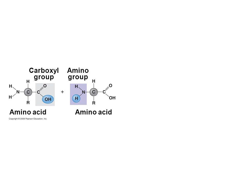 Carboxyl group Amino acid Amino group Amino acid
