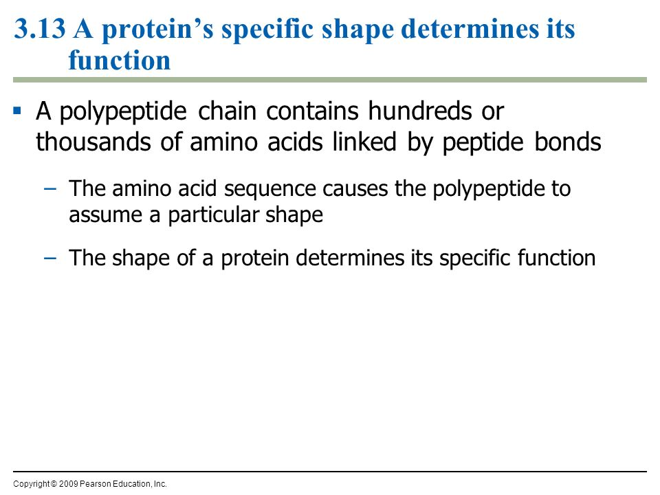3.13 A proteins specific shape determines its function A polypeptide chain contains hundreds or thousands of amino acids linked by peptide bonds –The