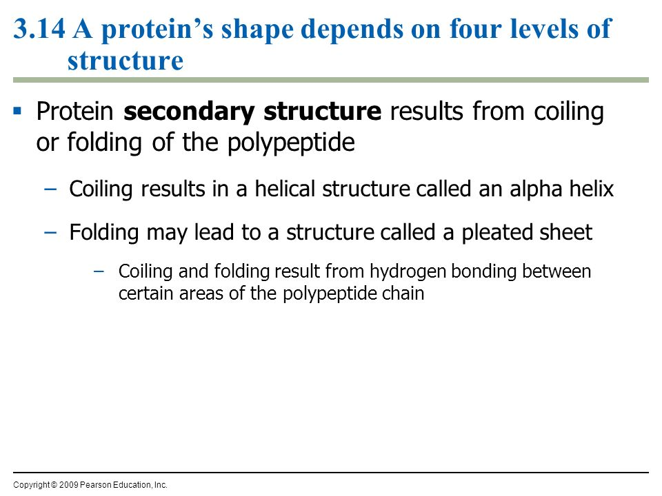3.14 A proteins shape depends on four levels of structure Protein secondary structure results from coiling or folding of the polypeptide –Coiling resu